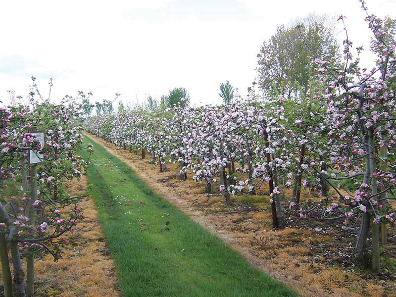 Fourayes Orchards Apple Blossom