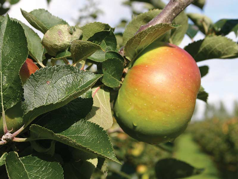Fourayes Bramley Apple